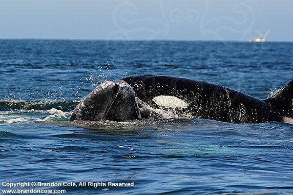 Photos d'orque et leurs proies Pb3386-D