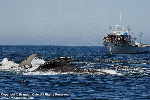 Photos d'orque et leurs proies Pb3394-D