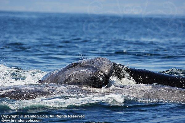 Photos d'orque et leurs proies Pt1212-D