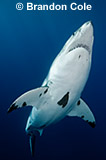 RE0288, dramatic vertical stock picture of a great white shark