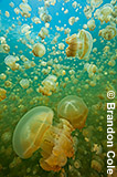 RH1197, harmless jellyfish in Palau, vertical format picture for sale