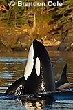 RN40630, vertical stock digital photo of a killer whale spyhopping