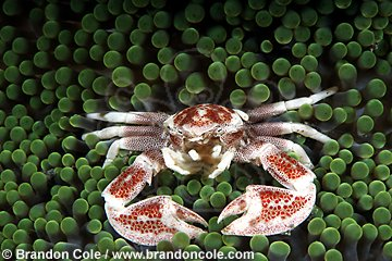 mn800. Porcelain Crab (Neopetrolisthes maculatus), lives in symbiotic relationship with carpet sea anemone. Crab shelters among anemone's stinging tentacles, thereby gaining protection from nearby hungry reef fish. Crab benefits, anemone is likely neither harmed or helped. This is commensalism
