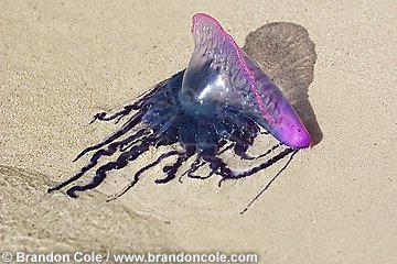 nr70973-D. Portuguese man-of-war Jellyfish (Physalia physalis) washed up on beach. Tentacles of this jellyfish produce a painful sting.