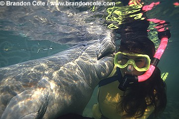 lr79. Florida Manatee (Trichechus manatus latirostris) playfully chews on woman's hair!  Snorkeler Melissa Cole- model released