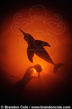 underwater photo of pink river dolphin, silhouette image, from the Amazon rainforest, by Brandon Cole.