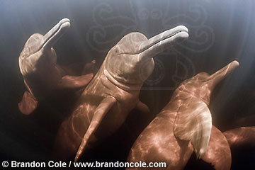 Three Amazon River Dolphins, Inia geoffrensis, horizontal high resolution stock image. Copyright Brandon Cole