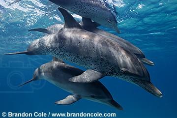 http://www.brandoncole.com/profile%20photos/DOLPHINS/atlantic%20spotted/pk10579-D-atlantic_spotted_dolphins_brandon_cole.jpg