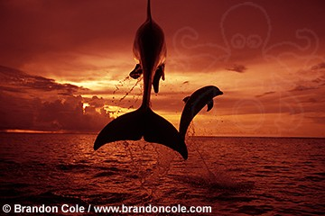 mt106. Bottlenose Dolphins, jumping at sunset. tropical and temperate seas worldwide