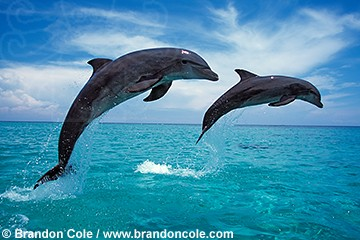 my715. two Bottlenosed Dolphins jumping side by side. Professional imagery for sale