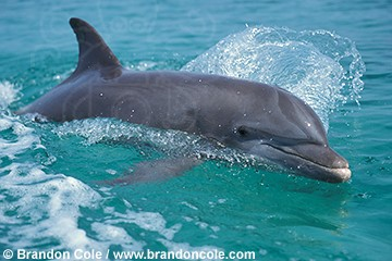 [Image: my849-bottlenose_dolphin_brandon_cole.jpg]