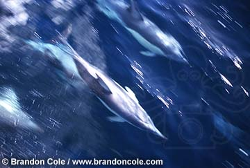 me227. high resolution photo of Common Dolphins racing at the surface, motion blurred. Australia. Photo Copyright © Brandon Cole. Rights-Managed Photograph registered with US Copyright Office.