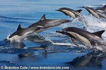 qc71219-D. group of Common Dolphins (probably Short-beaked, Delphinus delphis). Pacific Ocean. Photo Copyright © Brandon Cole. All rights reserved worldwide.