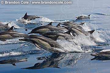 qc71224-D. Common Dolphins (Delphinus delphis). Pacific Ocean. Photo Copyright © Brandon Cole. All rights reserved worldwide.