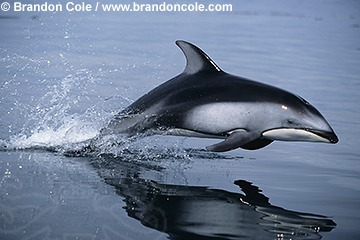 http://www.brandoncole.com/profile%20photos/DOLPHINS/pacific%20white%20sided/kz3014-pacific_whitesided_dolphin_leaping_brandon_cole.jpg