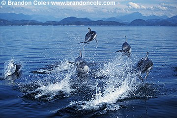 kz3230. Pacific White-sided Dolphins (Lagenorhynchus obliquidens) breaching. Marine stock photography for sale