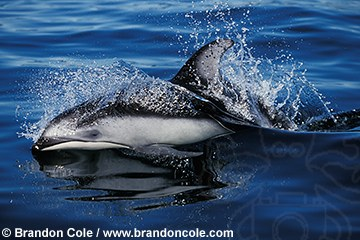 http://www.brandoncole.com/profile%20photos/DOLPHINS/pacific%20white%20sided/kz3242-pacific_white_sided_dolphin_brandon_cole.jpg