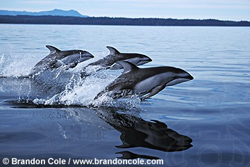 http://www.brandoncole.com/profile%20photos/DOLPHINS/pacific%20white%20sided/nb44-pacific_white-sided_dolphins_jumping_brandon_cole.jpg