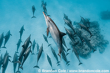 RZ0825-D. dramatic underwater wide angle photo of many wild spinner dolphins swimming in the Red Sea, digital capture by Brandon Cole