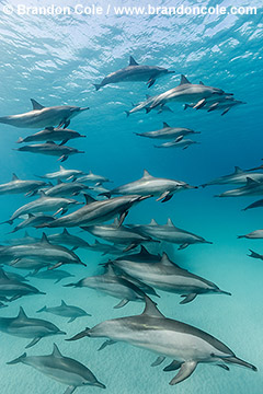 RZ1011-D, stock picture for sale of dozens of Long-snouted Spinner Dolphins, Copyright Brandon Cole