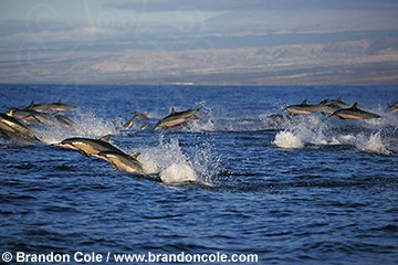 ls111. pod of Spinner Dolphins (Stenella longirostris) racing along at sunset
