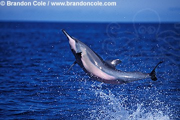 nk806. Spinner Dolphin (Stenella longirostris) jumping. Hawaii, Pacific Ocean