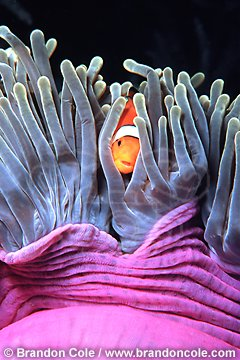 lv529. False Clown Anemonefish (Amphiprion ocellaris) sheltering among sea anemone's tentacles. Classic symbiotic relationship in which both members benefit- mutualism