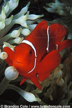 mn189. Spine-cheek Anemonefish (Premnas biaculeatus) vertical high resolution image for sale