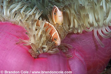 mn69. Pink Anemonefish (Amphiprion perideraion) horizontal stock shot from Papua New Guinea