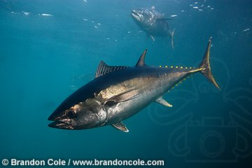 qb0031-D. Southern Bluefin Tuna, supports very valuable commercial fishery-- primarily sushi for Japan.