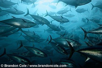 qb0973-D. schooling Southern Bluefin Tuna (Thunnus maccoyii), in tuna farm. Port Lincoln, South Australia