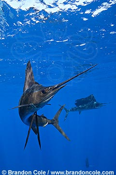 qh1404-D. Atlantic Sailfish (Istiophorus albicans). Note some consider this to be the same species as the Indo-Pacific Sailfish (I. platypterus). tropical and temperate oceans, prized gamefish fished both commercially and recreationly. Photo Copyright © Brandon Cole. All rights reserved worldwide.  www.brandoncole.com