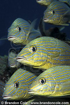 mc56. Bluestriped Grunts (Haemulon sciurus)