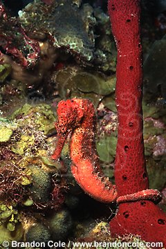 lo6956. Longsnout Seahorse (Hippocampus reidi) pregnant male broods young in belly pouch.