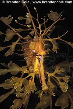 me47. Leafy Sea Dragon (Phycodurus eques)