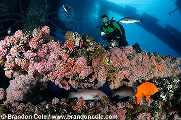 pq0088-D. scuba diver (model released) explores amazing artificial reef ecosystem of an oil rig, California, Pacific Ocean