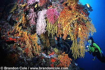 mk187. Woman scuba diving along coral reef filled with soft corals