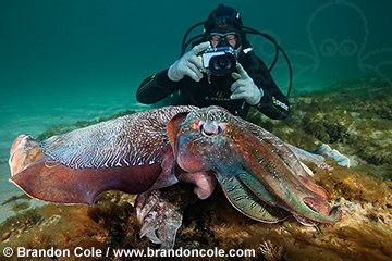 qb1809-D. scuba diver (model released) photographs Giant Australian Cuttlefish (Sepia apama). Note tentacles of female cuttlefish, underneath the larger more colorful male. South Australia. Photo Copyright © Brandon Cole. All Rights Reserved.