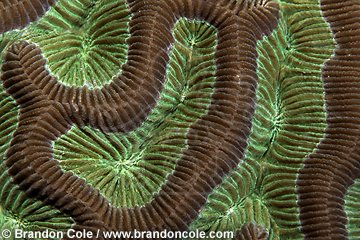 lo7175. Brain Coral (Colpophyllia natans) during daytime with polyps retracted. At night feeding polyps will extend