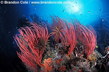 mk201. Sea Whip Corals (Ellisella sp.). also known as gorgonians. Fiji, tropical Pacific Ocean