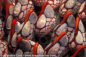 kn11950. Gooseneck Barnacles (Pollicipes polymerus). macro shot from British Columbia, Canada.