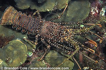 lo6694. Spotted Spiny Lobster (Panulirus guttatus). professional photograph made in the Caribbean Sea.
