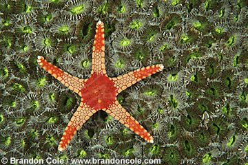 nm0064-D. sea star (Fromia monilis). Indonesia. underwater photography for sale