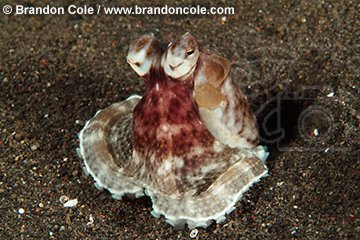 nm1007-D. Mimic Octopus (Octopus sp.). Indonesia.