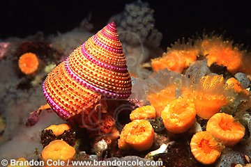 fn289. Purple Top Shell Snail (Calliostoma annulatum) crawls over orange cup corals