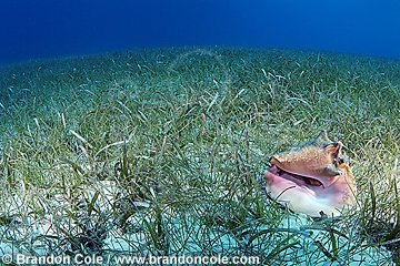 nr0551-D. Queen Conch (Strombus gigas) in sea grass bed