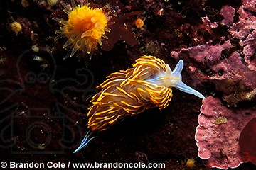 fn262. Opalescent nudibranch (Hermissenda crassicornis) Also known as a sea slug.