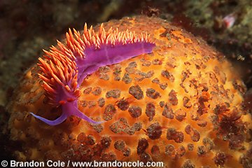 hw831. Spanish Shawl nudibranch (Flabellina iodinea)