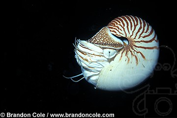lq8295. Chambered Nautilus (Nautilus pompilius). Most primitive of cephalopods and ancestor of octopus and squid.