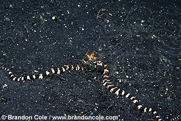 lq8359. Mimic Octopus (Octopus sp.) mimicking venomous sea snake to protect itself- a brilliant defense mechanism